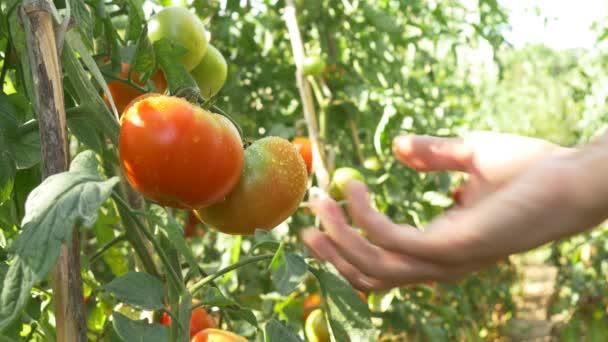 Sklízení červené zralých rajčat