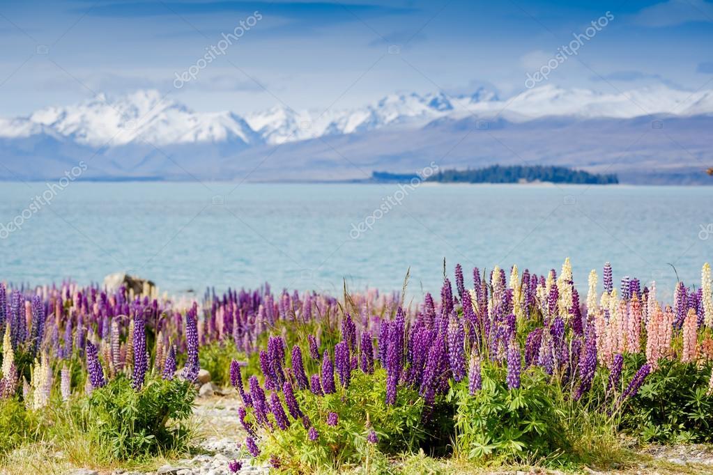 Tekapo lake with lupins blooming