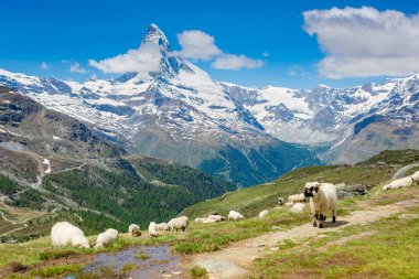 sheep in Swiss Alps
