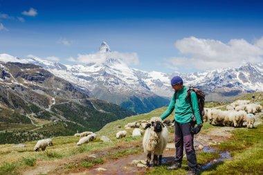 hiker and sheep on triail near Matterhorn
