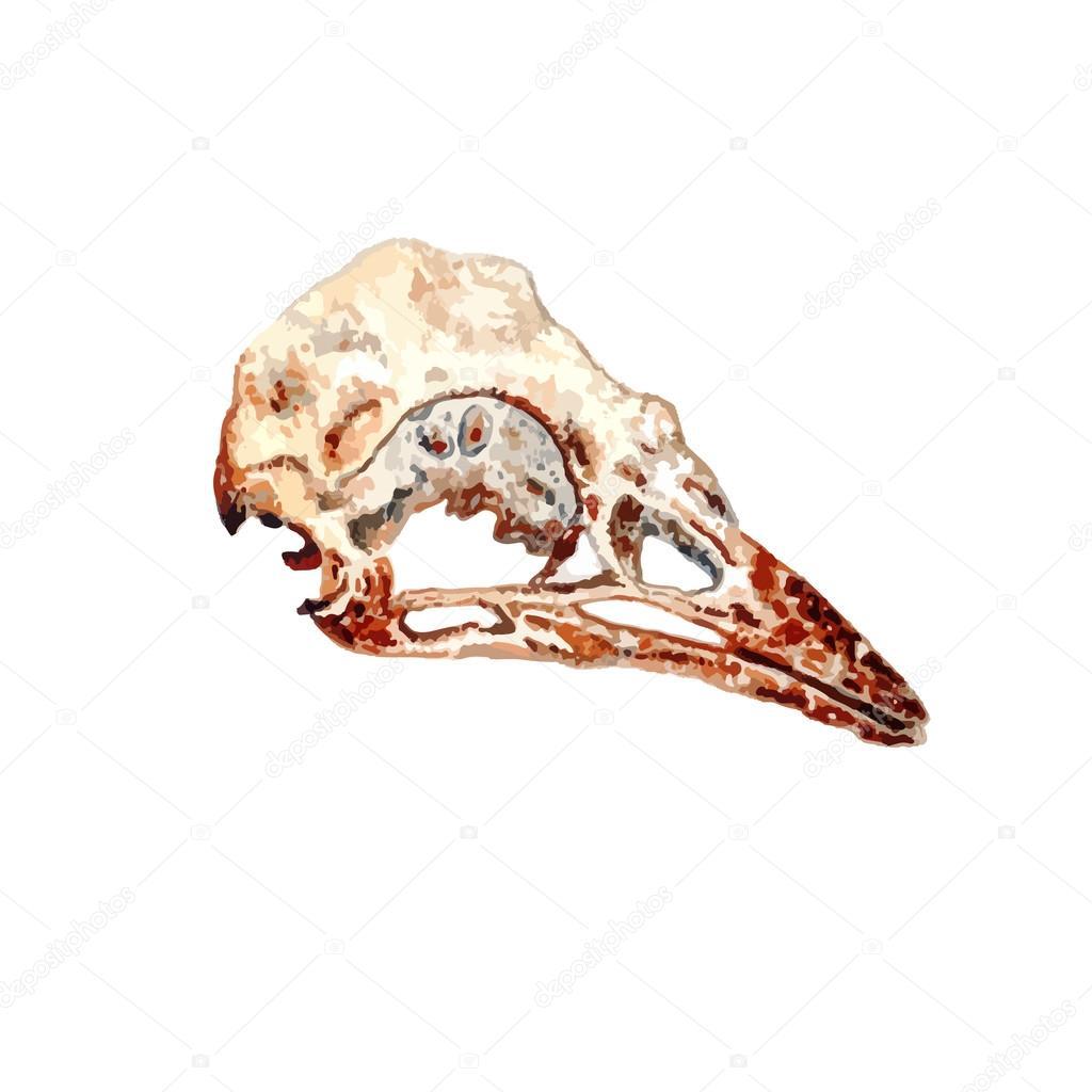 Watercolor Bird Skull Stock Vector C Kois00kois 107643332