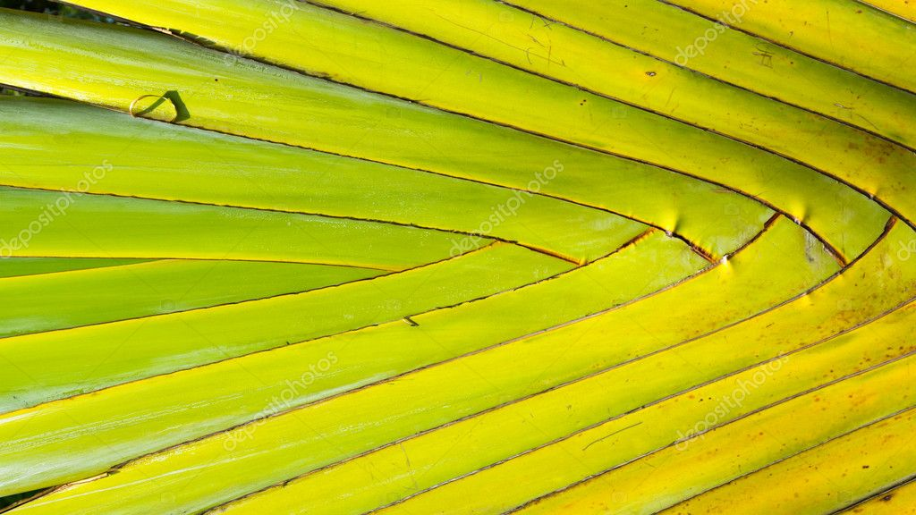 Stalk leaf of bases on a Travelers Palm or Ravenala madagascarie