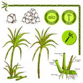 Sugarcane plant illustration