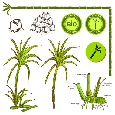 Sugarcane plant illustration