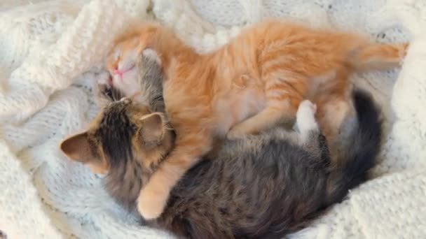 Ginger and gray playful kittens playing together on white knitted plaid. Healthy adorable domestic pets. cats