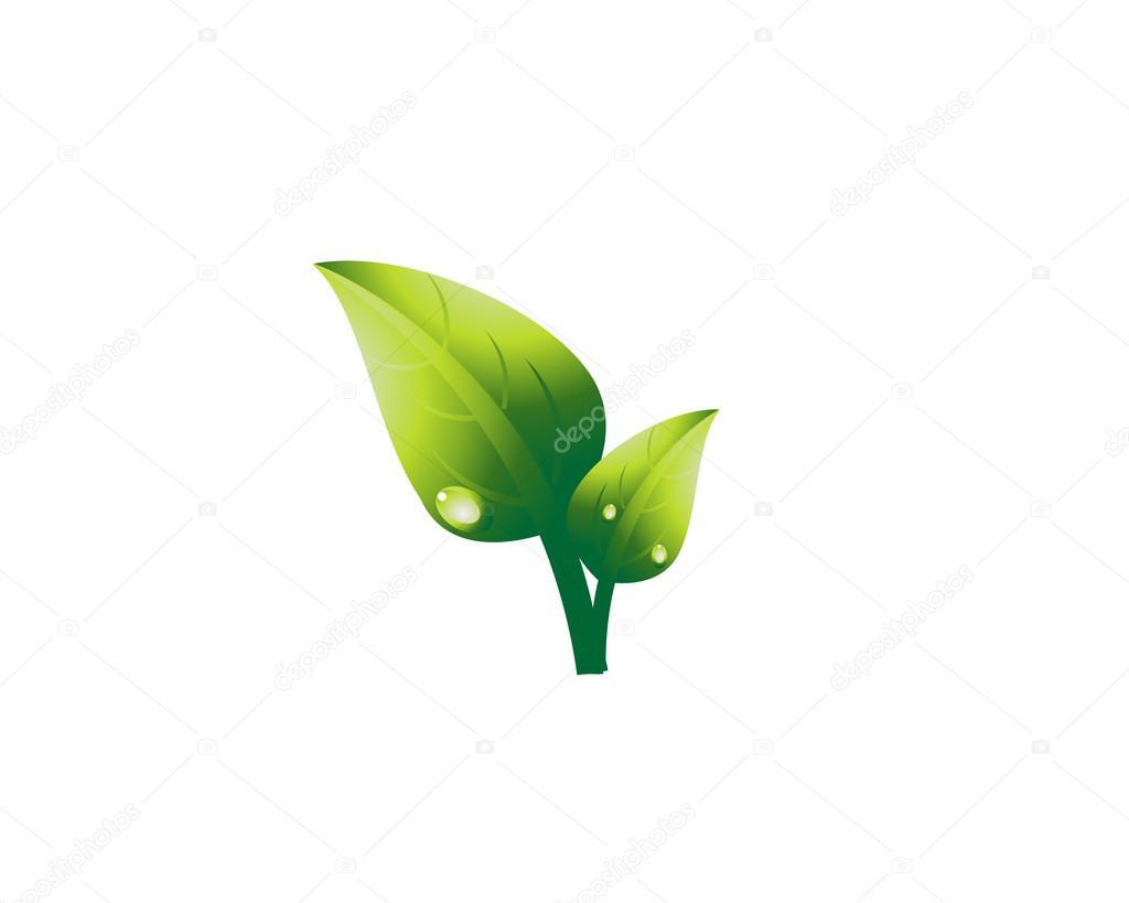 Illustration of tea leaf. / Raw material of green tea. Camellia sinensis