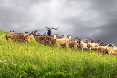Herd of goats on the hillside. Montenegro.
