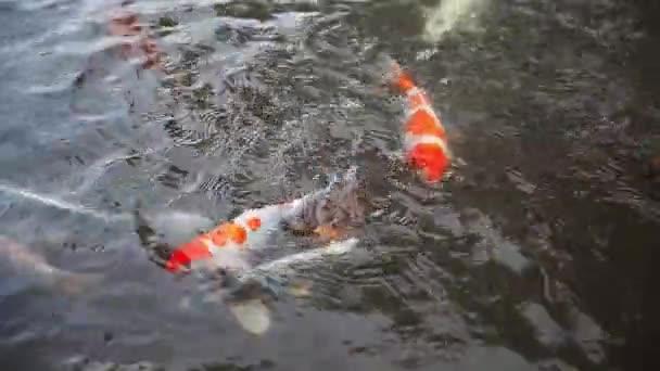 Japonští koi Ryby