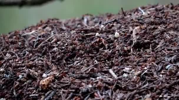 Červené dřevo mravenci v mraveništi, mravenčí život