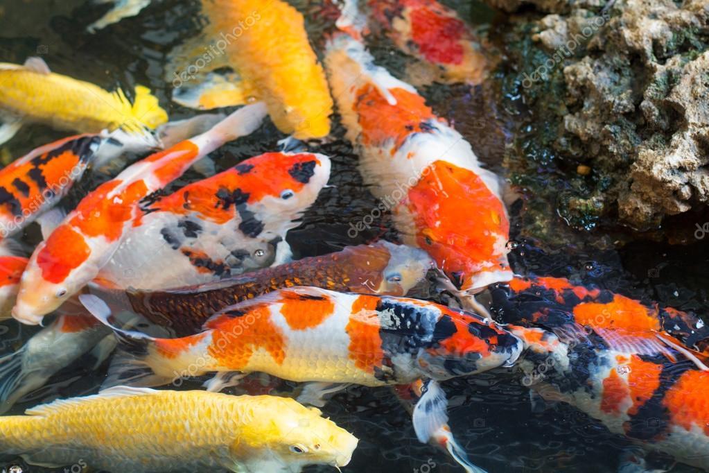 Fantasia carpa peixes coloridos ou extravagantes carpa for Carpa koi negra