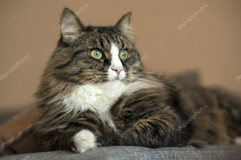 Maine Coon Jest Odpoczynku Na Kanapie Kot Leży Na Kanapie Kot