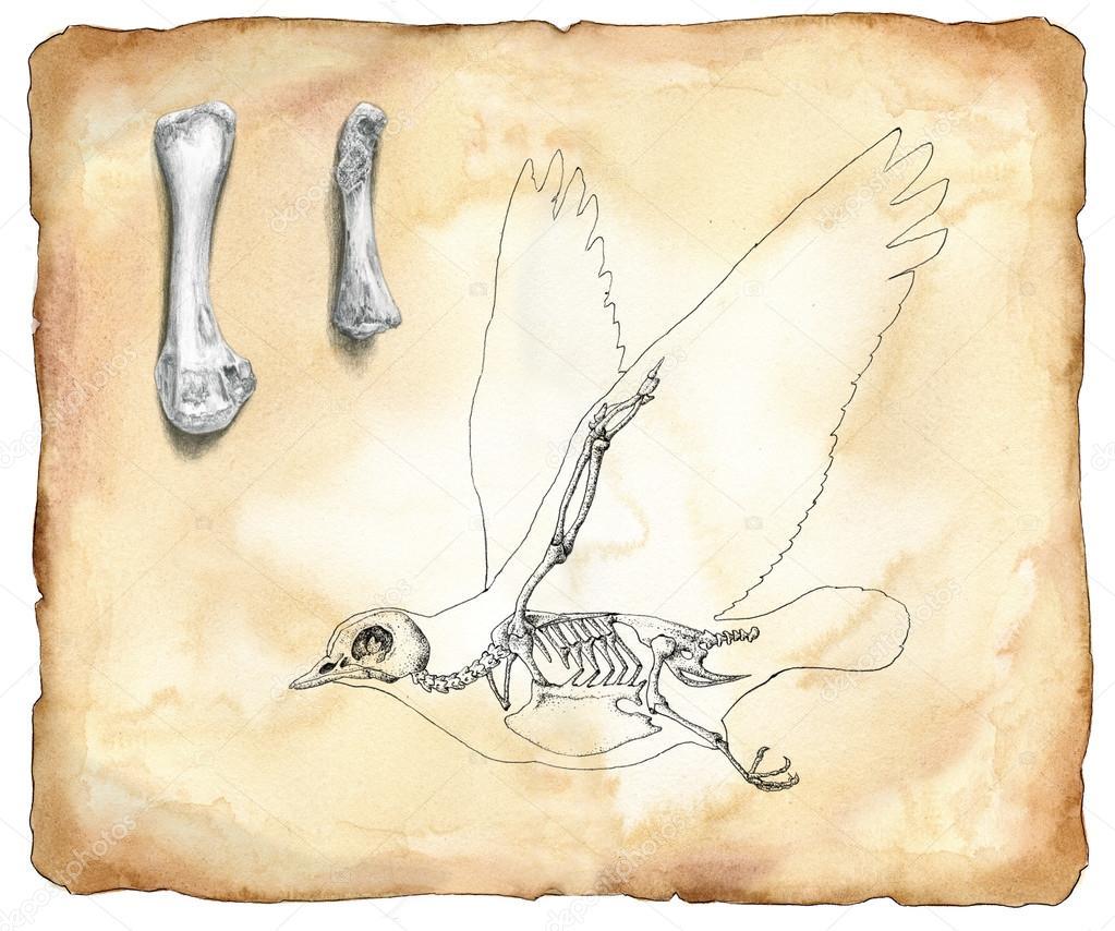 Vogel-Anatomie - Aquarell — Stockfoto © carlacastagno #109953130