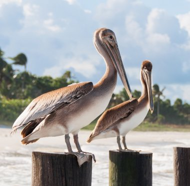 Beautiful couple of big Pelicans sitting on the wooden poles