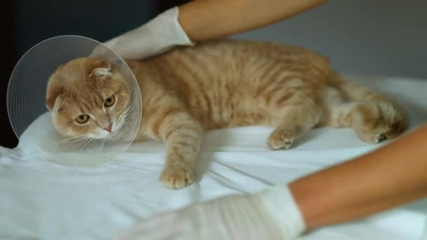 Veterinarian doctor is making a check up of a cute beautiful cat with plastic cone