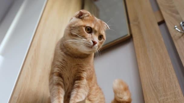 Hauskatze sitzt auf Tisch, beobachtet Bewegung des Objekts, Katze spielt zu Hause im Zimmer, Tierrasten, Haustierkonzept, Zeitlupe.