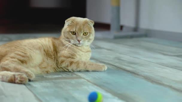 Lassú mozgás, Gyorsírás lusta macska feküdt a padlón, nézte a szivárvány labdát gördül a nappaliban a ház, Kisállat otthon környezetvédők.