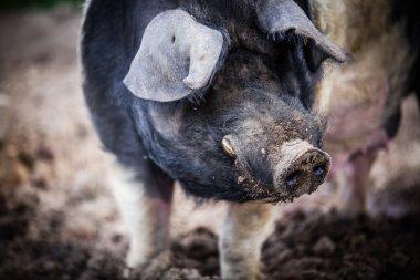 pig at farm
