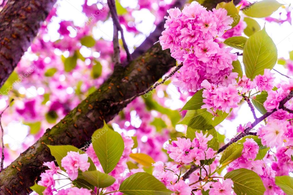 Rose Fleur De Cerisier Sakura Fleur Japon Photographie Whatslove