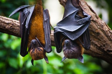 Black flying-foxes Pteropus alecto hanging in tree