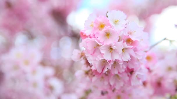 Krásné květiny kvetoucí sakura stromu