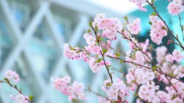 Krásné květiny strom sakura a budování moderního skla