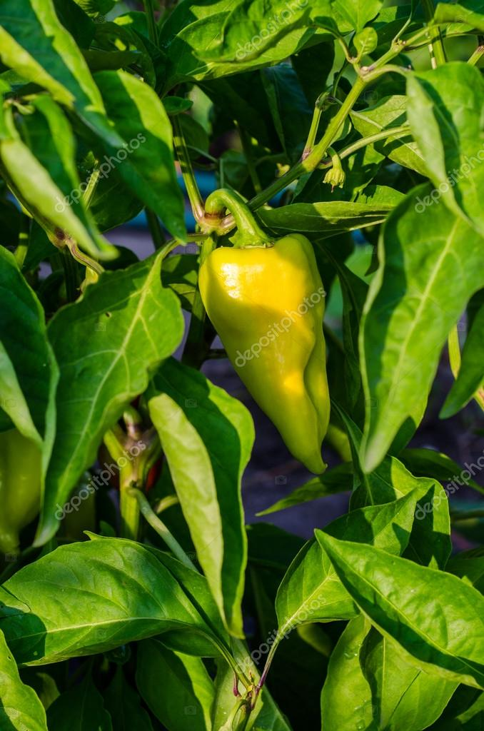 green young peppers growing in a field or plantation