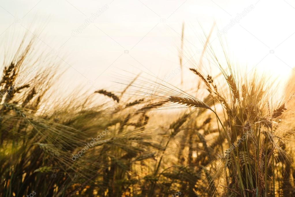 Field of wheat in sunny day.
