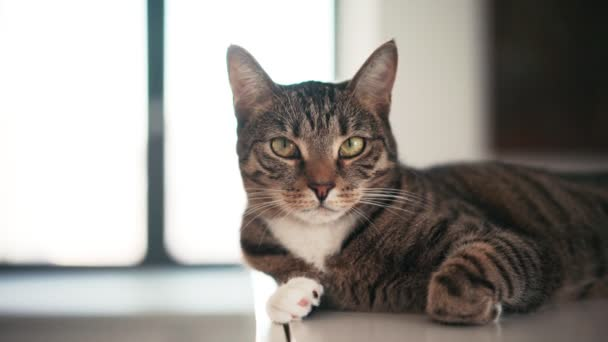 A cute striped cat lying on the shelf and looking at the camera.