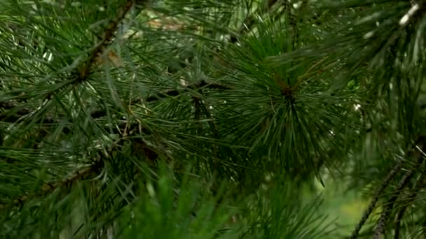 Pine tree with green pine branches needles background. Closeup.
