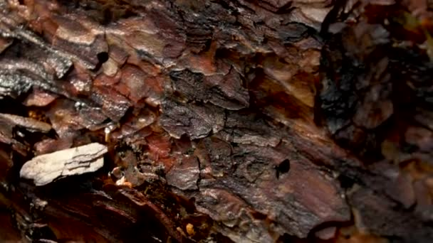 Pine tree bark close up in forest