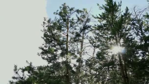 Sun prorážet borovic v lese