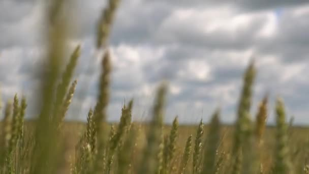 Wheat field caressed by wind nature background health food concept