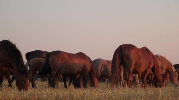 lótenyésztés ökológiai helyen, állatok legeltetése szántóföldön