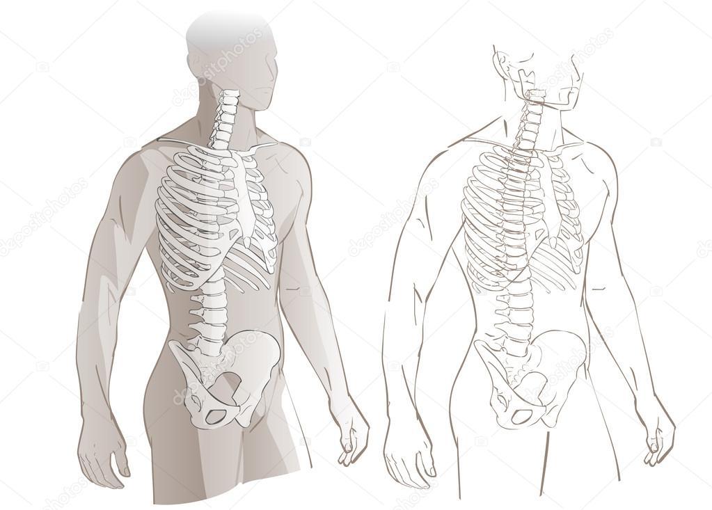 esqueleto y el cuerpo humano — Vector de stock © Bravoart #121210440