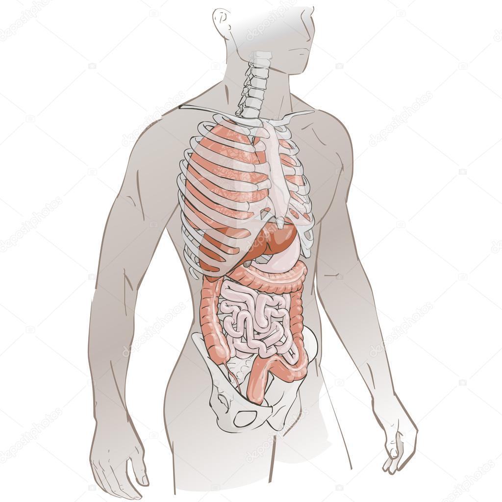 partes del cuerpo humano — Vector de stock © Bravoart #121217514