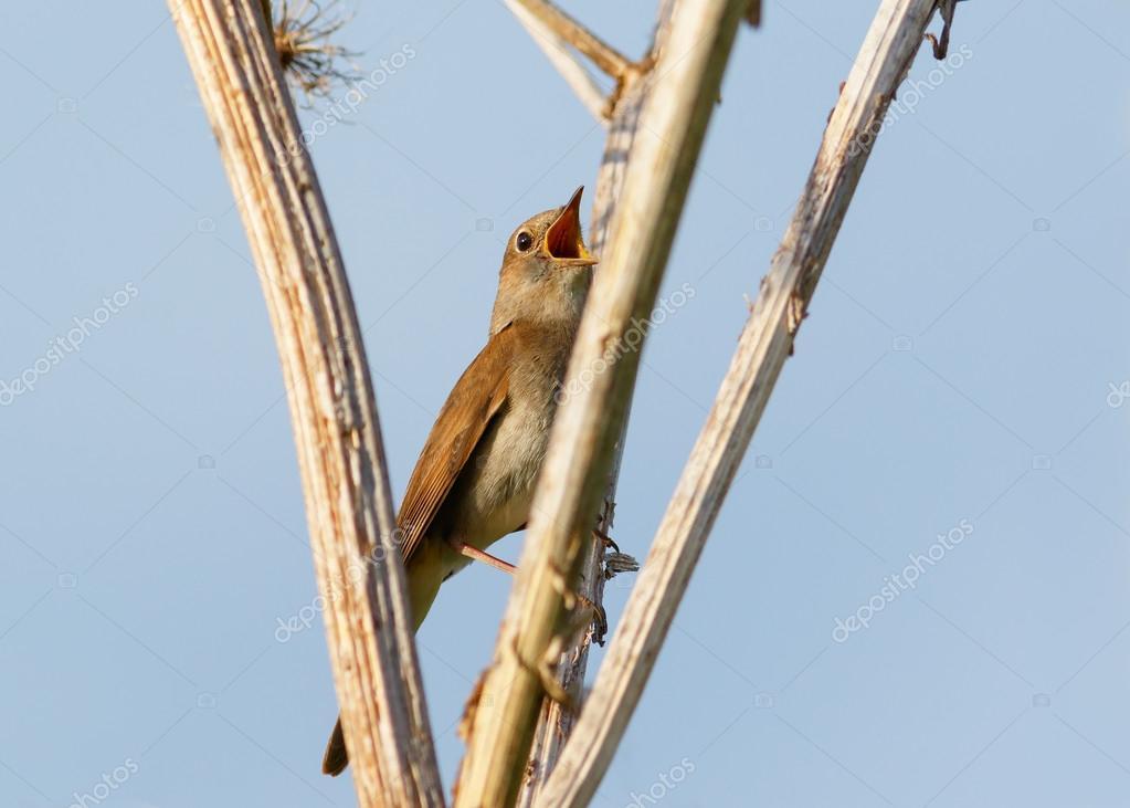 Thrush Nightingale sings