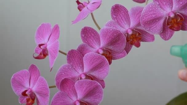 Frauenhände mit Sprayer auf Orchideenblumen sprühen