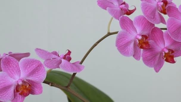 Žena ruce s postřikovačem postřik na květy orchidejí
