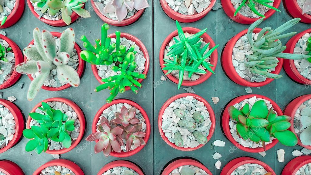 various green cactus and succulent plant in pink rose red flower pot. top view - flat lay - Color tone.