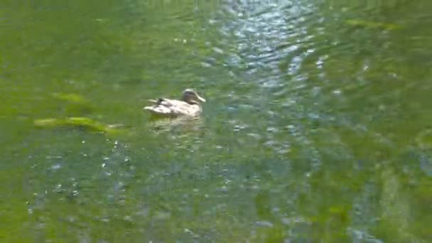 Birds. Amazing mallard duck swims in lake with blue water under sunlight.