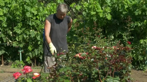 Gardener sprays rose flower bushes near vine grapes by cordless sprayer