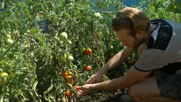 Organic Fresh Vegetables And Fruits Man Harvests Tomatoes In Home Garden