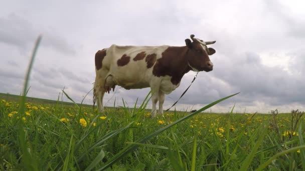 krávy na zelené louce