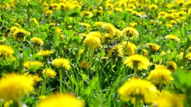 Gyönyörű sárga pitypang virágok. 240 fps