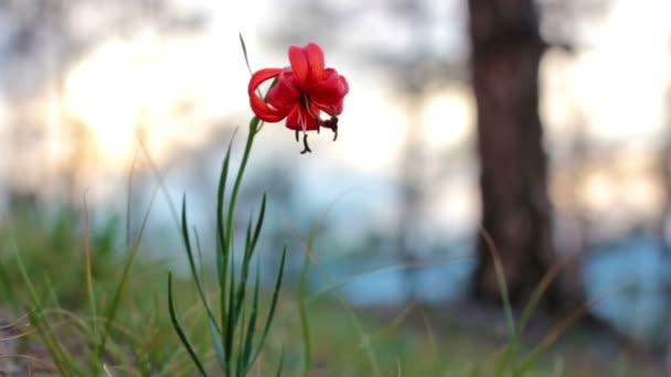 Nain De Lily Fleur Rare Et Magnifique Sur Le Rives Du Lac Baikal