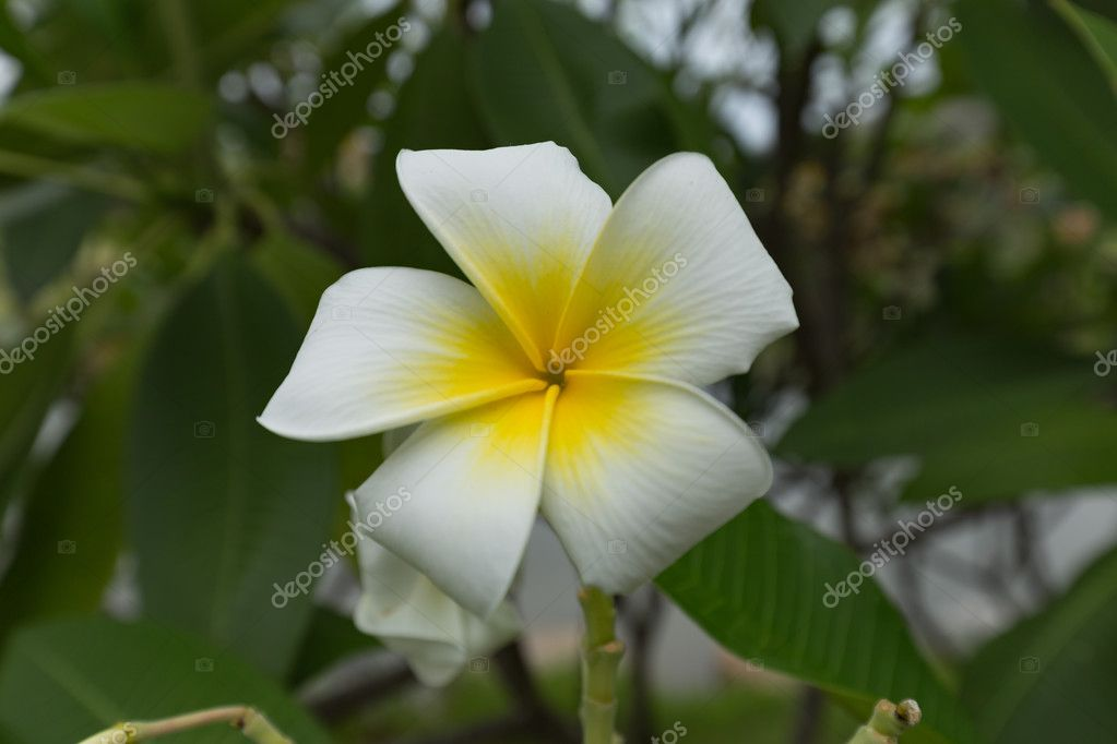 white and yellow plumeria frangipani flowers with leaves