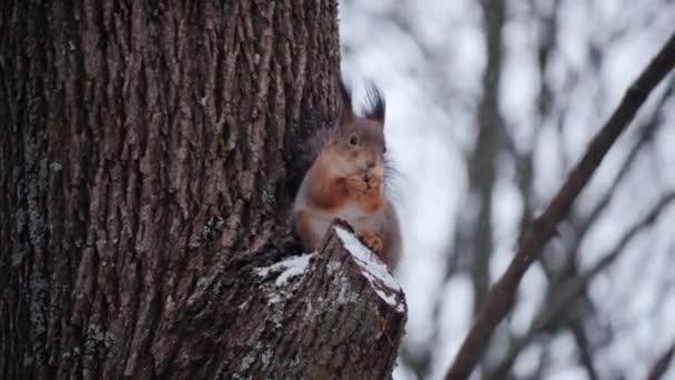 A mókus diót eszik közelről.