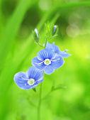 Květ rostliny speedwell