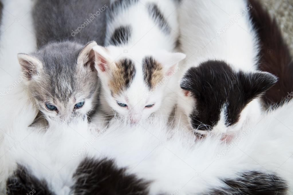 Cat breastfeeds its kittens