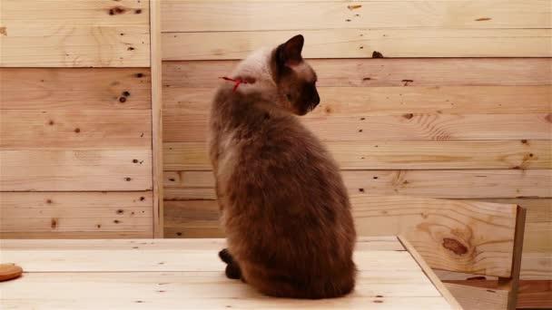 siamesische thailändische Katze